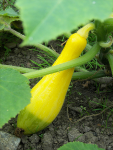 Zephyr F1 courgette. One of very many!
