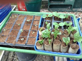 We've sown broccoli, Brussels sprouts, courgettes, broad beans, and purple French beans.